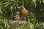 Female American Robin at nest with young in early June.