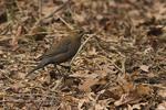 Female Rusty Blackbird in mid February.