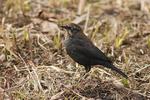 Male Rusty Blackbird in mid February.