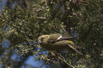 Female White-winged Crossbill in Atlantic White Cedar (Chamaecyparis thyoides) in mid-February. 