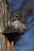 Eastern Gray Squirrel sitting on tinder fungus in Black Locust (Robinia pseudoacacia) in December.
