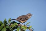 Northern Mockingbird in December.