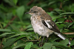 Juvenile Northern Mockingbird in September.