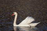 Mute Swan in March.