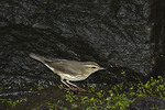 Northern Waterthrush in mid-August on fall migration.