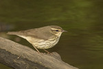 Northern Waterthrush in spring migration in early May.