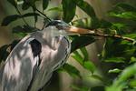 Gray Heron in coastal wildlife reserve.