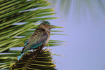 Indian Roller in early October near Chumphon, Thailand.