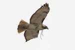 Adult male Red-tailed Hawk carrying a twig to the nest.