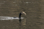 Double-crested Cormorant with a Yellow Perch (Perca flavescens) it has caught. The Reservoir, Central Park.