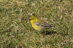 Male Pine Warbler in March on spring migration.