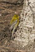 Male Pine Warbler foraging at the base of a White Birch (Betula pubescens) in March on spring migration.