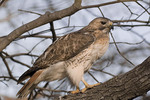 Adult male Red-tailed Hawk