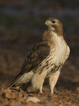 Adult female Red-tailed Hawk
