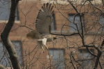 Adult female Red-tailed Hawk of nesting pair in flight in mid March.