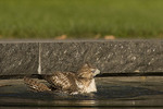 Immature Red-tailed Hawk bathing in the Reflecting Pool in mid September.