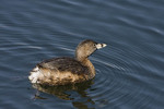 Pied-billed Grebe on the Reservoir in late March on spring migration.