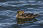 Immature Male Hooded Merganser on the Reservoir in late March.