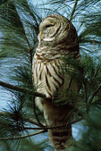 Barred Owl roosting in pine in late January.