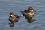 Female Hooded Mergansers in early April on the Reservoir. Central Park.