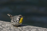 Yellow-throated Warbler in mid-April on spring migration.