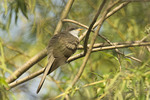 Adult Yellow-billed Cuckoo in willow in late April on spring migration. 