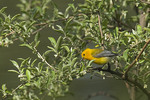 Male Prothonotary Warbler in late April on spring migration.