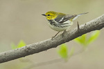 First spring male Black-throated Green Warbler in late April on spring migration. Central Park. New York, NY.