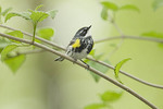 Male Yellow-rumped Warbler in Arrowwood (Viburnum dentatum) in late April on spring migration.