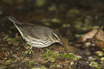 Northern Waterthrush in early May on spring migration.