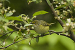 White-eyed Vireo in early May on spring migration.