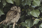 Gray morph Eastern Screech-Owl at its roost in Ivy in mid March.