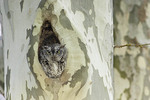 Gray morph Eastern Screech-Owl at nest in London Plane in mid April.