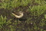 Louisiana Waterthrush foraging on a lawn in late April on spring migration.