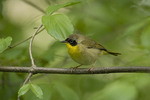 First spring male Common Yellowthroat in mid-May on spring migration.