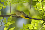 Adult male Common Yellowthroat in mid-May on spring migration.
