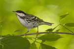 Adult male Blackpoll Warbler in late May on spring migration.