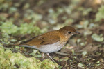 Veery in early May on spring migration.