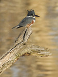 Female Belted Kingfisher in mid December.