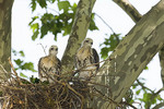 Nestling Red-tailed Hawks in early June.  