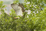 Adult female Red-tailed Hawk collecting leaves for the nest in mid May. 