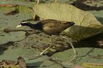 Bronze-winged Jacana walking on Lotus (Nelumbo nucifera) pad in freshwater marsh in late February.