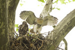 Red-tailed Hawk nestlings in early June. Prior to fledgling young red-tails spend a considerable amount of time exercising their wings.