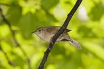 House Wren near its nest in early June.