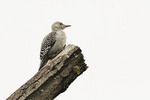 Juvenile Red-bellied Woodpecker near the Blockhouse at the north end of Central Park in mid-June.