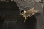 Adult female American Kestrel entering her nest on East 75th Street with a sparrow she has captured in mid-June.