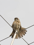 Adult female American Kestrel stretching on a favorite perch near her nest on East 75th Street in mid-June.
