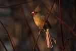 Female Northern Cardinal in February.