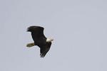 Bald Eagle in flight in mid November.