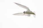 Least Tern hovers in flight in June.